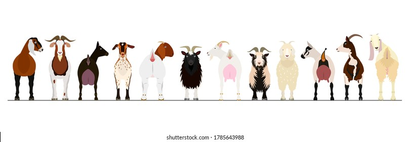 various breeds of goats border