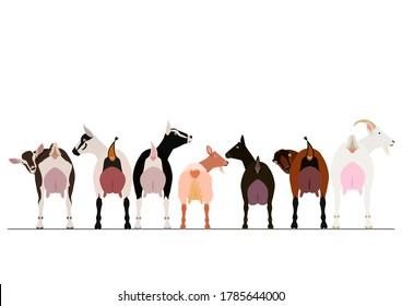 various breeds of milk goats border
