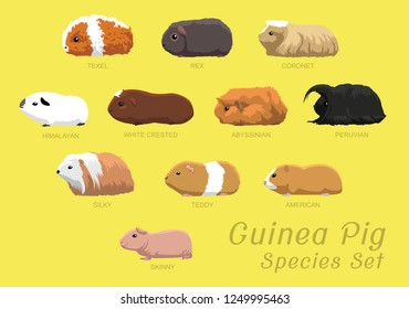 Various Guinea Pig Species Set Cartoon Vector Illustration