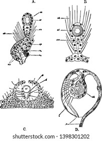 Various labels of Auditory Organs of the Jellyfish vintage line drawing or engraving illustration.
