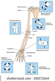 Various types of joint, illustrated by the joints of the upper limb from the scapular to the fingers.
