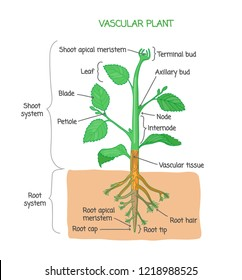 Vascular plant biological structure diagram with labels, vector illustration drawing poster, educational scheme with shoot system, root system and other parts as nodes, leaves, buds and root