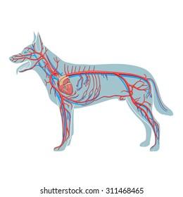 Vascular system of the dog vector illustration