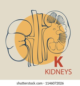 Vector alphabet illustration of an anatomical kidneys for anatomical demonstration and any kind of card of flyers