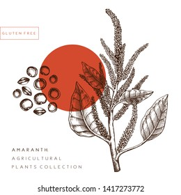 Vector Amaranth illustration. Agricultural plant with leaves, flowers, seeds drawings. Hand drawn gluten free plants. Vegan food Lineart. Botanical floral design