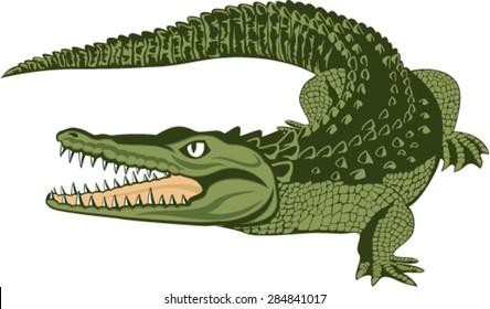vector American alligator