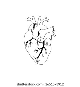 Vector, anatomical heart. Realistic Heart icon isolated on white background. Vector medical heart logo.
