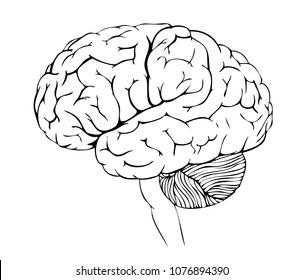 Vector anatomy illustration of the human brain
