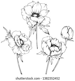 Vector Anemone floral botanical flowers. Wild spring leaf wildflower isolated. Black and white engraved ink art. Isolated anemone illustration element on white background.