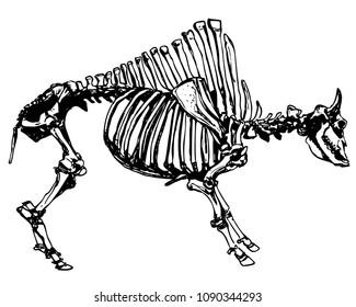 Vector antique bison skeleton. Bones of extinct californian animal. Ink drawing of bison fossils