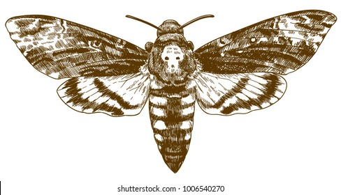 Vector antique engraving drawing illustration of African death-head hawkmoth isolated on white background