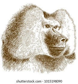 Vector antique engraving drawing illustration of baboon head isolated on white background