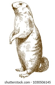 Vector antique engraving drawing illustration of marmot isolated on white background
