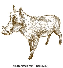 Vector antique engraving drawing illustration of common warthog  isolated on white background