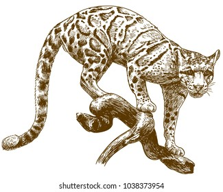 Vector antique engraving drawing illustration of clouded leopard isolated on white background
