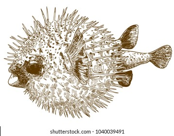 Vector antique engraving drawing illustration of porcupinefish blowfish isolated on white background