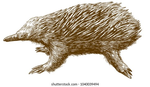 Vector antique engraving drawing illustration of echidna isolated on white background