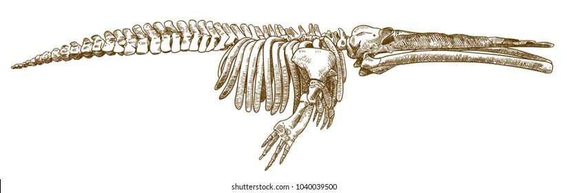 Whale Skeleton Images, Stock Photos & Vectors | Shutterstock