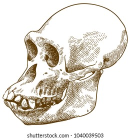 Vector antique engraving drawing illustration of anthropoid ape skull isolated on white background