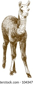 Vector antique engraving drawing illustration of llama cub or alpaca or guanaco baby isolated on white background
