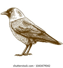 Vector antique engraving drawing illustration of jackdaw isolated on white background