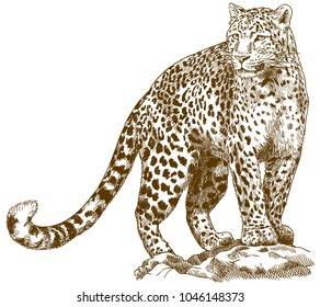 Vector antique engraving drawing illustration of leopard isolated on white background