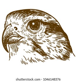 Vector antique engraving drawing illustration of falcon head isolated on white background