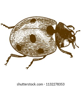Vector antique engraving drawing illustration of ladybug or ladybird (coccinellidae) isolated on white background