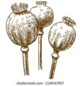 Vector antique engraving drawing illustration of three poppy pod isolated on white background