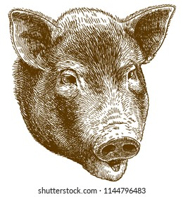 Vector antique engraving drawing illustration of pig head isolated on white background