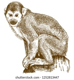 Vector antique engraving drawing illustration of squirrel monkey (saimiri sciureus) isolated on white background