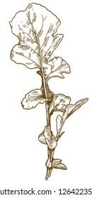 Vector antique engraving drawing illustration of arugula rocket salad isolated on white background
