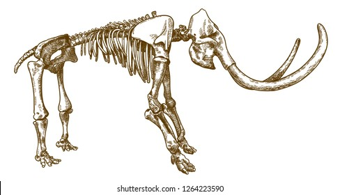 Vector antique engraving drawing illustration of mammoth skeleton isolated on white background