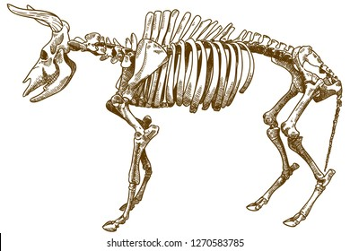 Vector antique engraving drawing illustration of aurochs or urus or tur isolated on white background