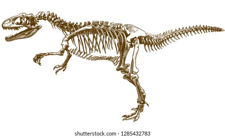 Vector antique engraving drawing illustration of tyrannosaurus T rex skeleton isolated on white background