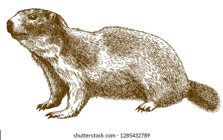 Vector antique engraving drawing illustration of alpine marmot isolated on white background