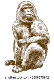 Vector antique engraving drawing illustration of barbary macaque (Macaca sylvanus) isolated on white background