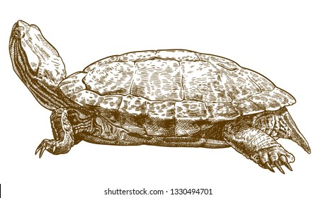 Vector antique engraving drawing illustration of pond slider turtle or red-eared slider isolated on white background