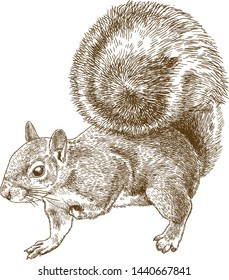 Vector antique engraving drawing illustration of eastern gray squirrel or American gray squirrel isolated on white background