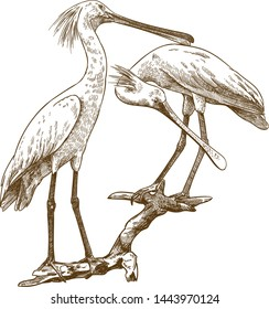 Vector antique engraving drawing illustration of eurasian spoonbill on white background