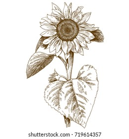 Vector antique engraving drawing illustration of sunflower isolated on white background