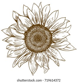 Vector Antique Engraving Drawing Illustration Of Big Sunflower Isolated On White Background