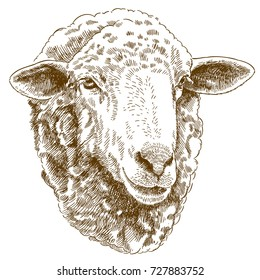 Vector antique engraving drawing illustration of sheep head isolated on white background