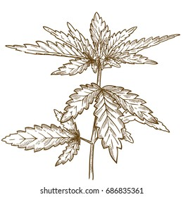 Vector antique engraving illustration of cannabis leaf isolated on white background