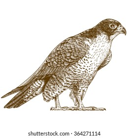 Vector antique engraving illustration of falcon isolated on white background