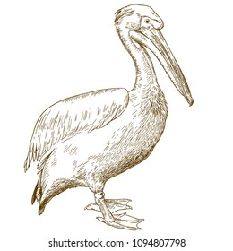 Vector antique engraving illustration of great white pelican isolated on white background
