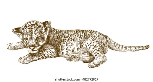 Vector antique engraving illustration of lion cub isolated on white background
