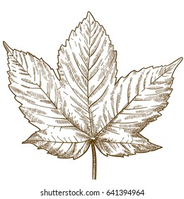 Vector antique engraving illustration of maple leaf isolated on white background