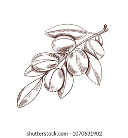 Vector Argan Branch Sketch, Outline Drawing Isolated on White Background, Argania Plant.