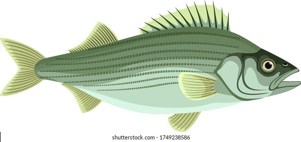 vector Atlantic striped bass isolated